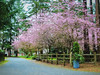 Plum-blossoms-1 (Philip Magallanes) Tags: flowers trees nature neighborhood plumblossoms