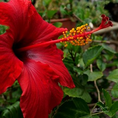 Red Hibiscus (James Milstid) Tags: flowers red blossoms hibiscus sonyrx100m3