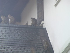 Toque Macaques on the Temple Roof Kandy