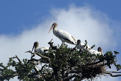 New Stork City (PelicanPete) Tags: family wild usa bird nature beauty animal big high unitedstates display florida outdoor lol group large woody bluesky ugly huge handheld balance overlook juvenile wingspan staugustine eastcoast longlegs nesting woodstork northflorida kingoftheworld mycteriaamericana inthewild wildlifephotography freeroaming specanimal longbill avianexcellence naturesspirit storkcity aviancapture dmslair newstorkcity