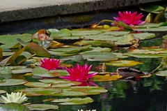 1291-34L (Lozarithm) Tags: hidcote gloucs nt blipmeet pentaxzoom k50 55300 hdpda55300mmf458edwr waterlilies