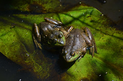 American Bullfrogs (ajblake05) Tags: americanbullfrog amphibians animals britishcolumbia burnaby burnabylakepark canada greatervancouver lowermainland northamerica ranacatesbeiana ranidae vertebrata vertebrates