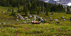 Summer of the Bear (Crest Pictures) Tags: mtrainiernationalpark backcountry backpacking blackbear sow cub