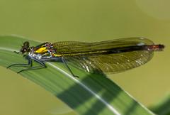 Willow emerald damselfly (michael_hamburg69) Tags: germany deutschland hamburg libelle damselfly willowemeralddamselfly chalcolestesviridis kleinlibelle weidenjungfer