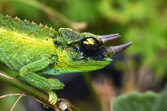Juvenile Jackson's Chameleon (BBMaui) Tags: green reptile chameleon jacksonschameleon