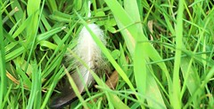 A feather in the green (Klaus  infrequently online ) Tags: federn feder feathers feather pennae penna plumage fjer plumas pluma hyhen hyhenet plumes plume  veren veer fjr fjr penas pena fjdrar fjder gras grass erba hierba lherbe  grama   far grs ruoho im  gress  grs rumput trawa c  trave trava trva