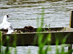 Black headed gull & chick Titchfield Haven (Nick.Bayes) Tags: gull headed black chick