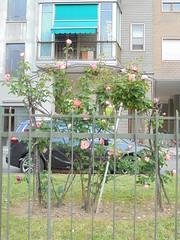 109 (en-ri) Tags: rose roses cespuglio sony sonysti