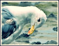Jeune goland (BrigitteChanson) Tags: goland gull seagull gabbiano gaviota oiseau ave uccello bird