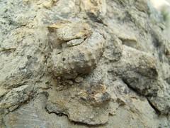 DSCF1626a (Xavier Bjar) Tags: fossil roca geologia fosil fssil lavalldenbas calcria