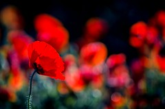Bokeh for Red Flower (NathalieSt) Tags: 003nature coquelicot fleur coquelicots fleurs flower flowers pavotpoppy poppies poppy