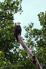 8791 (JerrysPhotographs) Tags: americanbaldeagle baldeagle bird birds eagle oklahoma places sequoyahnationalwildliferefuge wildlife