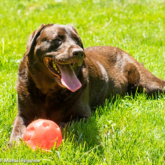 Lola Red Ball-5545.jpg (mhelv11) Tags: chocolatelab dog summer fetch