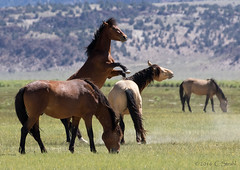 Wild Mustangs - 02 (cheryl strahl) Tags: easternsierra california wild mustangs horses behaviour fighting agression beauty mountains meadow ngc
