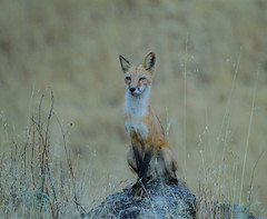Red Fox (Vulpes vulpes) (Atascaderocoachsam) Tags: redfox fox vulpesvulpes sammcmillan