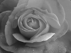 Rose (patia) Tags: california lg rose