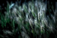 Nature (Thomas TRENZ) Tags: 50mm austria gras nikon thomastrenz trenz vienna d600 fx grass iamnikon natur nature wien sterreich