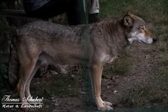 Timberwolf (Thomas_Schubert) Tags: wisengehegespringeniederschsischelandesforsten wolf wolfsvater vogelsang timberwolf