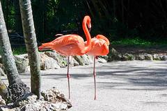 Flamingos (KPPG) Tags: tier vogel flamingo outdoor florida davie usa nature samsungnx nx3000