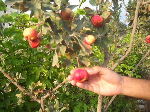 Zaarour Mayhow Berry Fruits Aug 7, 2016 (10)