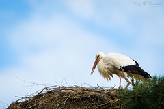 Stork (Cloudtail the Snow Leopard) Tags: storch zoo basel tier animal vogel bird weis white stork ciconia adebar nest