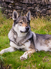DSC00665 (Andrew Gibson.) Tags: lakedistrict maleswolf sonya7ii sonyilce7m2 thepredatorexperience wolves wolf wildlife wolfhybrid predatorexperiencecouk maska kajika outdoor animal