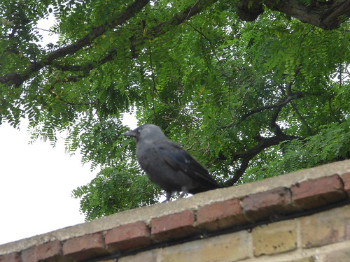 Gardens at Hampton Court Palace - crow in the Kitchen Garden