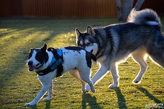 DSC_00253-1 (ScootaCoota Photography) Tags: dog pet animal border collie labrador park play outdoors nature malamute