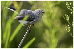 blue-gray gnatcatcher (Christian Hunold) Tags: bluegraygnatcatcher songbird bird blaumckenfnger bokeh johnheinznwr philadelphia christianhunold