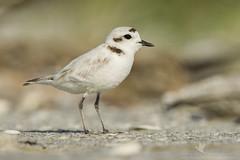 Snowy Plover (santosh_shanmuga) Tags: snowy plover cute tiny shorebird bird birding aves wild wildlife nature animal outdoor outdoors nikon d3s 500mm fl florida lee sanibel