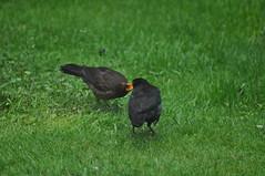 Nom Nom Nom... (Latimer's Paradox) Tags: birds gardenbirds blackbirds juvenileblackbird birdsfeeding turdusmerula turdidae