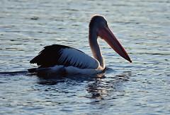Pelican (Luke6876) Tags: australianpelican pelican bird animal wildlife australianwildlife water