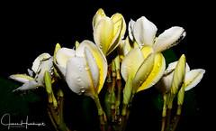 Plumeria Cluster After Rain (jhambright52) Tags: whiteplumeria macro macroflowers plumeriaintherain doublefantasy ngc