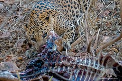 Feeding Leopard (fascinationwildlife) Tags: animal mammal predator india indian leopard big cat kill carcass spotted deer hirsch wild wildlife nature natur national park asia forest tree summer rare elusive feline