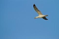 Oscar Pontn (pontonoscar) Tags: laridae laruscachinnans larusmichaelis murcia salinasdesanpedrodelpinatar aves gaviota gaviotapatiamarilla vuelo