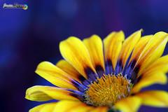 Flor (javierreyes.es) Tags: primer plano margarita daisy macro colour purple morada mejor