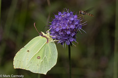 Common Brimstone (Gonepteryx rhamni) and the Marmalade Hoverfly (Episyrphus balteatus) (M Carmody Photography) Tags: bogofallen gonepteryxrhamni markcarmodyphotography markcarmody bog brimstone butterflies butterfly canon carmo carmopolice carmopolis carmody gonepteryx ireland kildare lullymore mark peat insects macro peatland rare rhamni yellow mc7d3855 devils bit scabious devilsbitscabious allen 100mmf28lens 100mmf28canonmacrolens irish wildlife fauna flora succisa pratensis succisapratensis green purple companion fly brigh male episyrphusbalteatus episyrphus balteatus marmalade hoverfly marmaladehoverfly