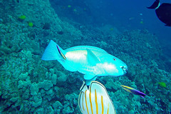 clean parrot (BarryFackler) Tags: hawaii bigisland polynesia hawaiiisland kona westhawaii hawaiicounty southkona tropical honaunaubay sandwichislands honaunau konacoast saltwater sea pacificocean bay parrotfish chlorurusspilurus bulletheadparrotfish fish uhu cspilurus supermale cleaningstation hawaiiancleanerwrasse labroidesphthirophagus cleanerwrasse wrasse coral lphthirophagus coralreef reef vertebrate diving sealife ocean 2016 sealifecamera underwater ecology water organism island barryfackler barronfackler outdoor ecosystem undersea pacific aquatic dive fauna konadiving bigislanddiving hawaiianislands scuba marine biology creature seacreature diver hawaiidiving marineecology nature marinebiology zoology life animal being marineecosystem