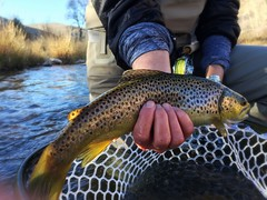 Brown trout daydreams. (animal vegetable miracle) Tags: flyfishing flyfishingcolorado womenwhoflyfish womeninwaders colorado browntrout