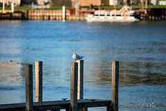 The Boat Launch (J. Olan Photography) Tags: boatlaunch dock lake erie michigan birds seagull