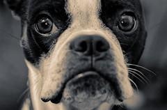 Nikita (KnightedAirs) Tags: d5200 nikon nikkor 60mm micro macro boston terrier dog black white sepia eyes eye sad wise canine close up closeup