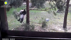2016_10-03e (gkoo19681) Tags: beibei monkeywannabe dangling hangingon sostrong danglinglegs morningsilliness treetime fuzzywuzzy justbecausehecan havingfun sillygoober ccncby nationalzoo