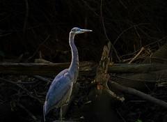 blue heron (Sky_PA (On and Off)) Tags: blue heron pennsylvania wild dark lightandshadow bird outdoor amateurphotography debris quittiecreeknaturepark annville creek darkness efs55250mmf456isstm eye nature rebelt6i t6i canoneos canon