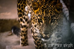 A leopard never leaves its spots ...  (gauravsingh_rf) Tags: zoo d5200 delhi fearless leopard save animal photography nikon