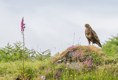 The Foxglove and the Buzzard (An Italian Girl at Heart) Tags: buzzard bird foxglove flower nature scotland mull birdofprey