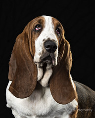 _DSC7157 credit (Sweet P's Photography by Winny Clum) Tags: dog animal pet basset hound