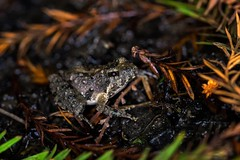 Northern cricket frog (Mohan Krish Photography) Tags: ringflash canon6d canon flash nature micro wildlife louisiana frogs closeup macro frog