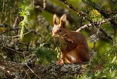 Red Squirrel Carrying Nest Material (volesandfriends) Tags: redsquirrel sciurusvulgaris ekorre larch