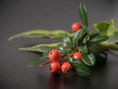 (Ghita Katz Olsen) Tags: berries plant dark blackbackground autumn fall