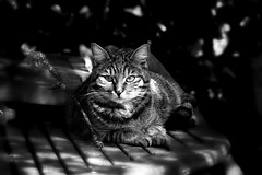 (Christian Bachellier) Tags: cat chat nikon animale flin noiretblanc